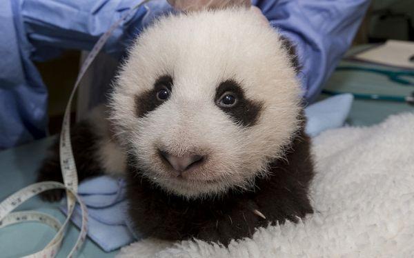 Panda nacido en cautiverio es la nueva celebridad del zoológico de San Diego