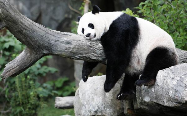 El hombre prehistórico comía pandas, asegura científico chino
