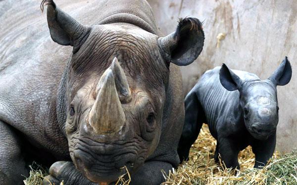 Sudáfrica: 455 rinocerontes muertos por caza furtiva en el año