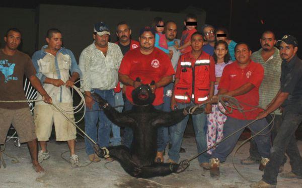 Indignación en México: bomberos capturaron cruelmente a una osezna