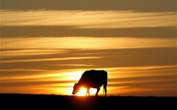 FAO advierte que el 22% de razas de ganado está en peligro de extinción