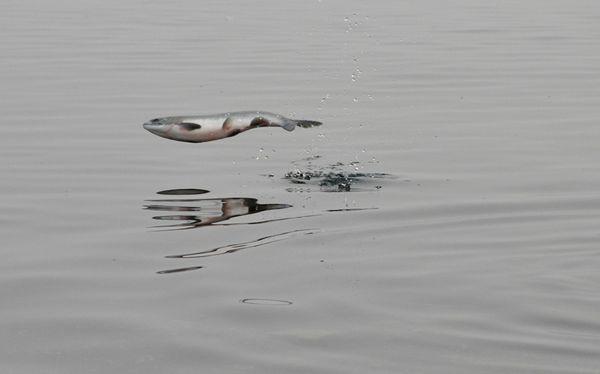 El pez volador habría evolucionado para escapar de depredadores