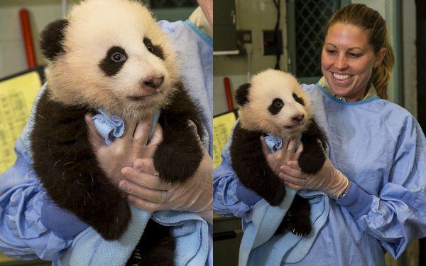Engreído de zoológico de San Diego cumplió 100 días y ya le buscan nombre