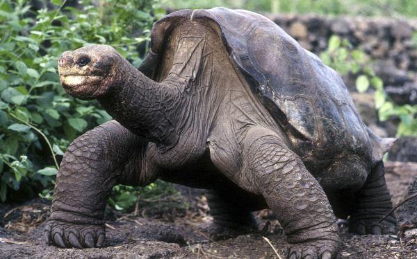 Los genes del Solitario George están presentes en otras especies de tortugas