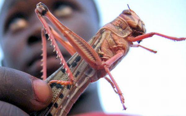 Invasión de langostas amenaza cultivos al norte de África