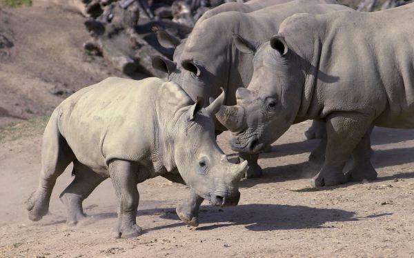 Confiscan más dos toneladas de cuernos de rinoceronte y colmillos de elefante en Kenia