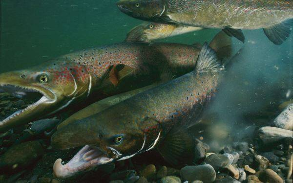 """""""Frankenfish"""", el salmón genéticamente modificado que podría llegar al mercado"""
