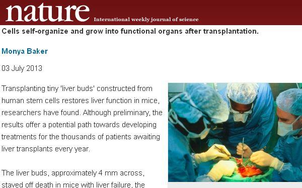 Desarrollan un hígado a raíz de células madre pluripotentes inducidas