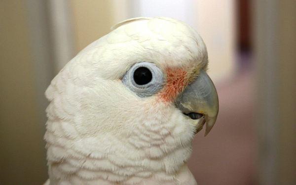 Aves inteligentes: las cacatúas aprenden a resolver problemas e innovar