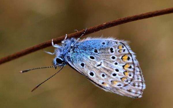Mariposa azul común (Polyommatus icarus). [Foto: flickr.com/verzo]