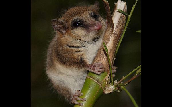 Descubren nuevo vínculo entre marsupiales de Australia y Su