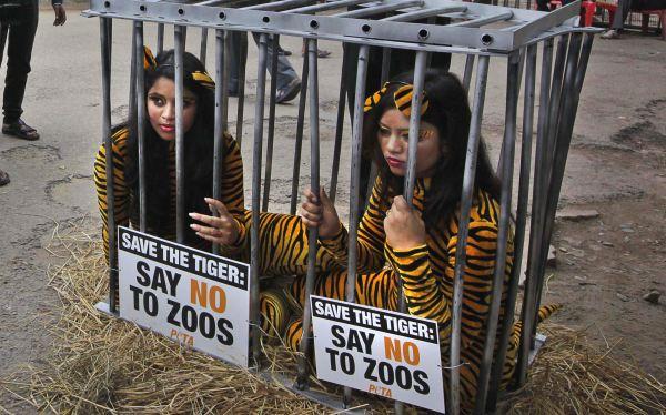 Los activistas señalan que un tigre suele vivir en áreas 1.800 veces más grandes que las jaulas del zoológico. (Foto: AP)