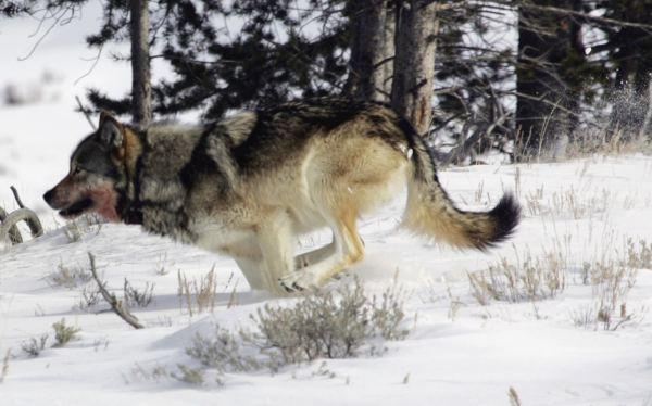 EE.UU.: reintroducción de lobos beneficia a los osos en Yellowstone