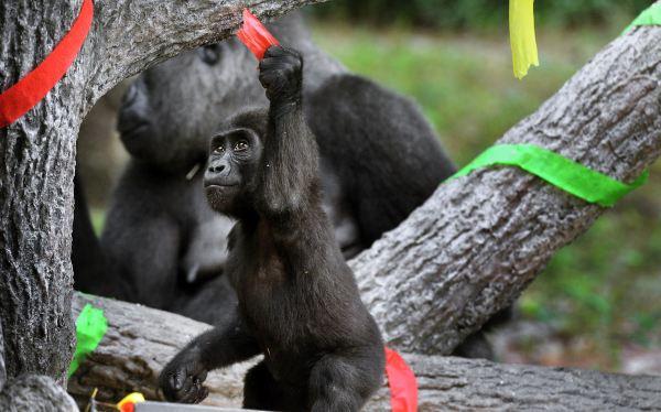 Dos gorilas bebes celebraron su cumpleaños en zoológico de EE.UU.