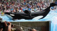 Documental sobre la orca asesina de SeaWorld reabre controversia por cautiverio de animales - Noticias de parque tematico