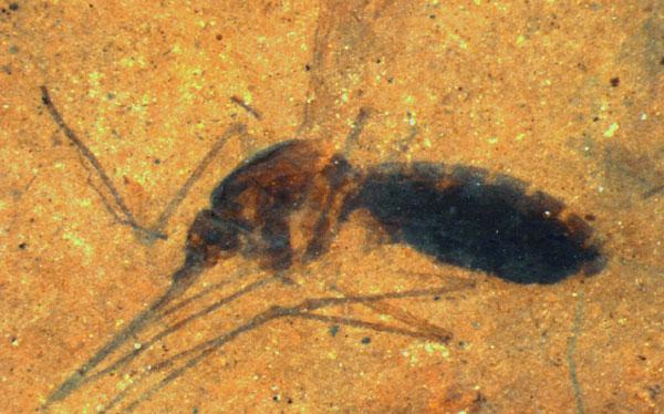 Hallan por primera vez un fósil de mosquito con sangre en su abdomen